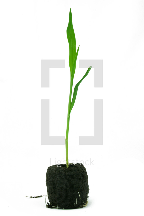 corn sprout