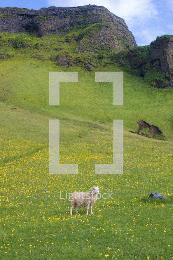 long horn sheep on green landscape