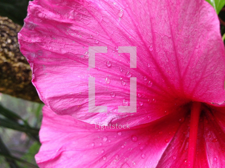 water droplets on a pink flower petal