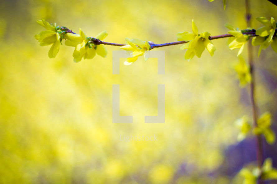 yellow flowers on branches