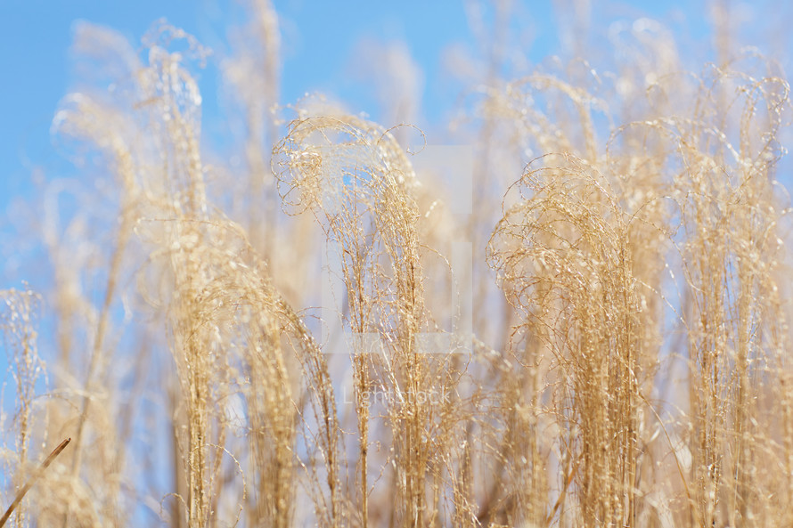 tall brown grasses against a blue sky
