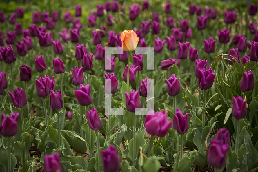 single orange tulips in a field of fuchsia tulips