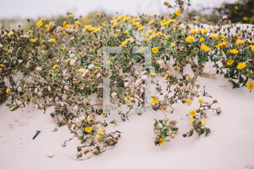 yellow flowers on sand dunes