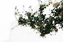 crape myrtle branch