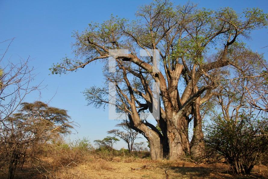 The 'Big Tree', Zimbabwe. Baobab tree, possibly 2,000 years old.