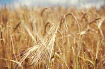 dry golden wheat ready for harvest