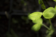 new leaves sprouting