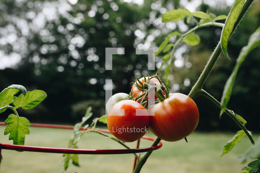tomatoes in a tomato cage