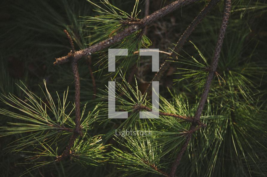 Pine tree limbs.