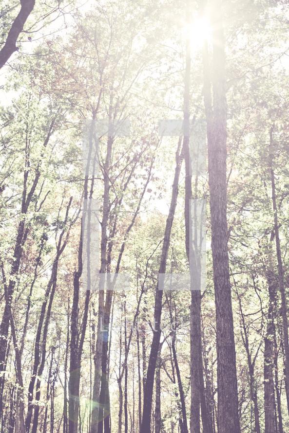 sun shining through tall trees