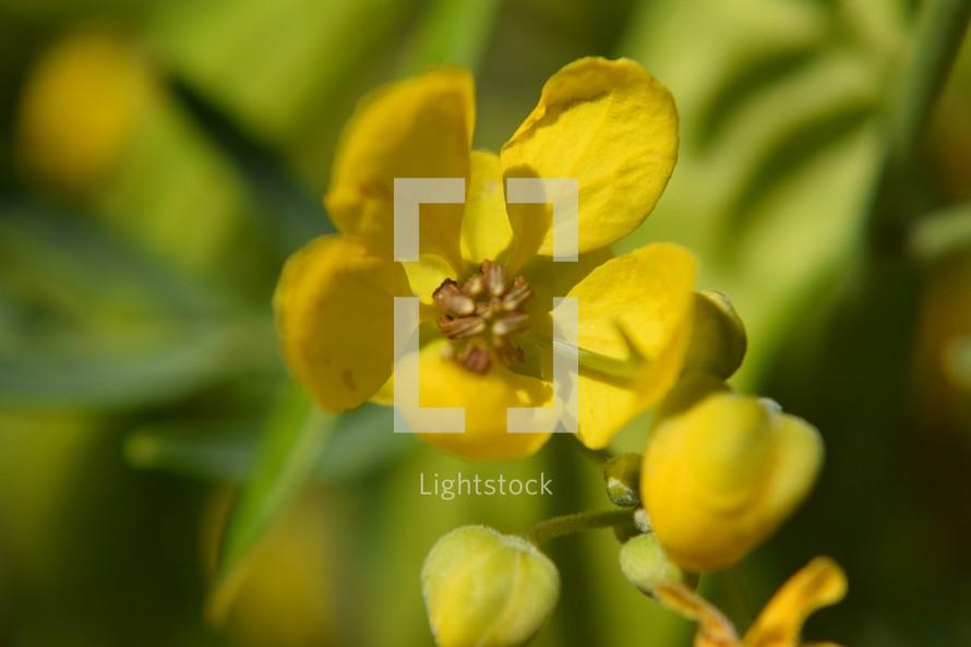 yellow desert flowers in bloom