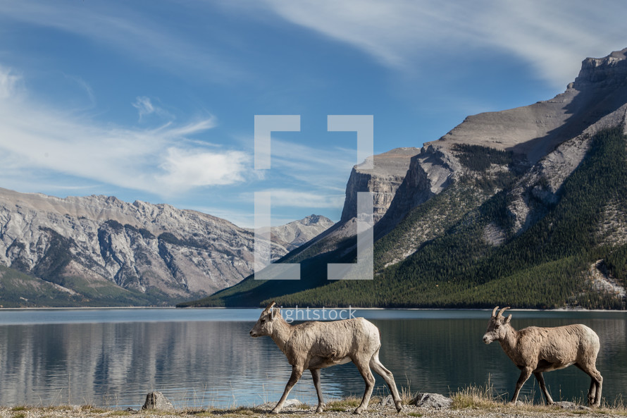 elk and mountain peaks across a lake