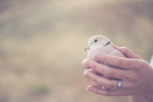 Hands holding a dove.