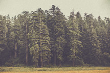 tall pine trees at a forest's edge