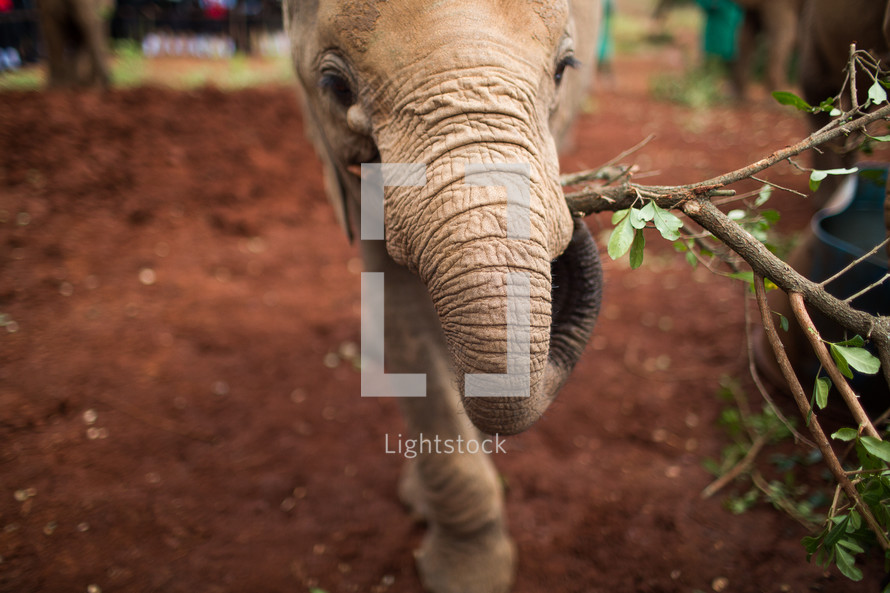 young elephant carrying a stick