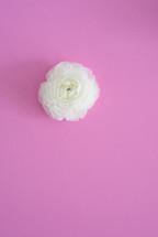 white flower on pink background