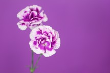 purple flowers against a purple background