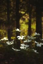 sunlight shining on dogwood flowers