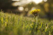 dandelion growing in grass