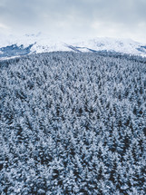 evergreen forest in winter
