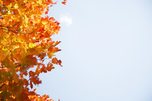 red, orange, and yellow fall leaves on a tree and a clear sky
