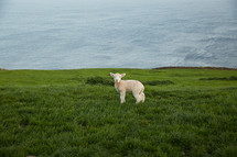 a lamb at the top of a green cliff along a shore line
