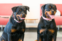 Two beautiful rottweilers sitting in floor