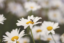 Honey bee on a daisy.