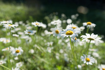 Field of daisies.