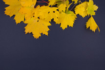 yellow fall leaves on a navy blue background