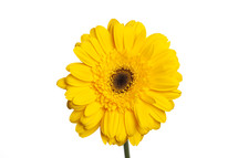 yellow gerber daisy against a white background