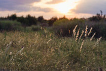 Tall wild grass in a Texas field at sunset. Focus on foreground blades.