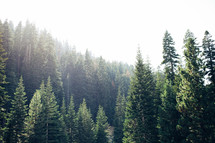 sunlight over a pine forest