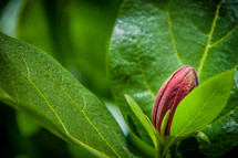 azalea flower bud