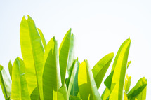 tropical green leaves background and pattern on white background