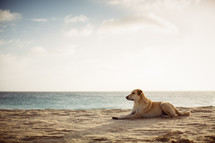 a dog resting on a beach