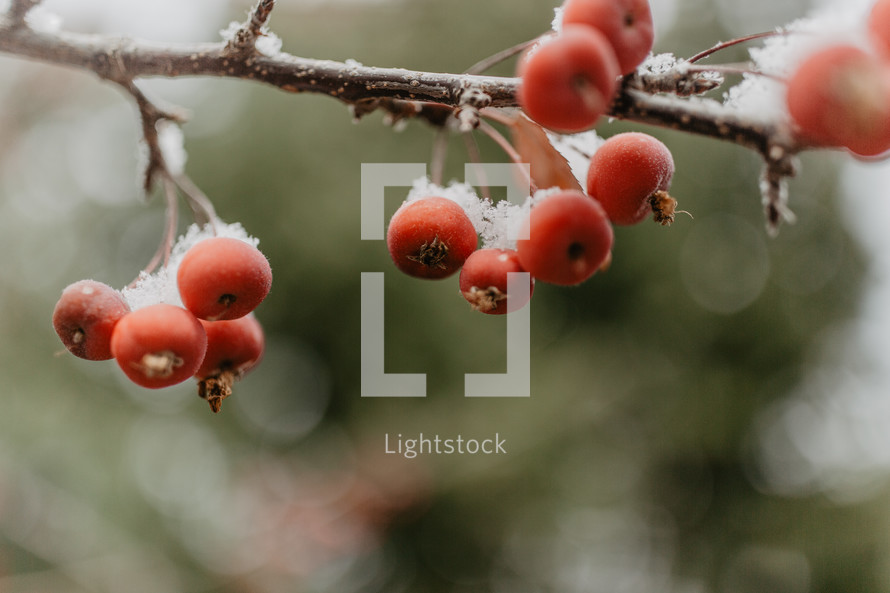 berries with snow on branches with green bokeh background