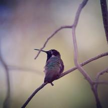 juvenile Costa's hummingbird on a branch