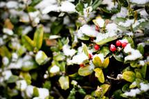 snow on a holy bush