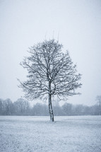 isolated tree in a field - winter
