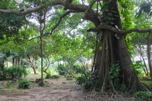 A large tree in a jungle clearing