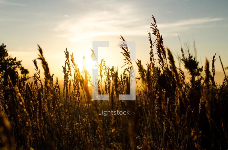 sunlight on a wheat field at sunset