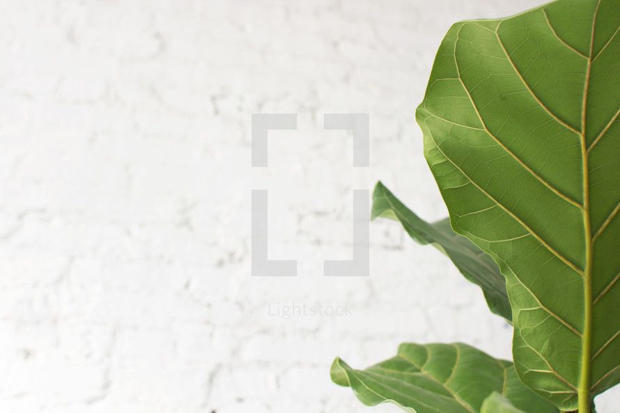 A green leaf on a white background.