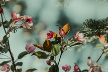 pink flowers on a tree branch and green spruce needles