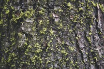 lichen on tree bark