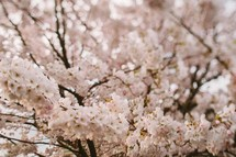 A tree covered in pink and white blossoms.