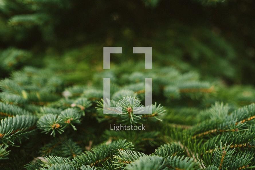 Pine boughs, tree limbs, evergreen