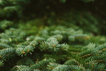 Pine boughs, tree limbs, evergreen