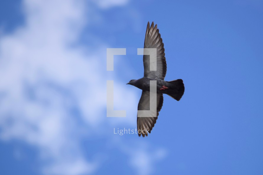 soaring pigeon