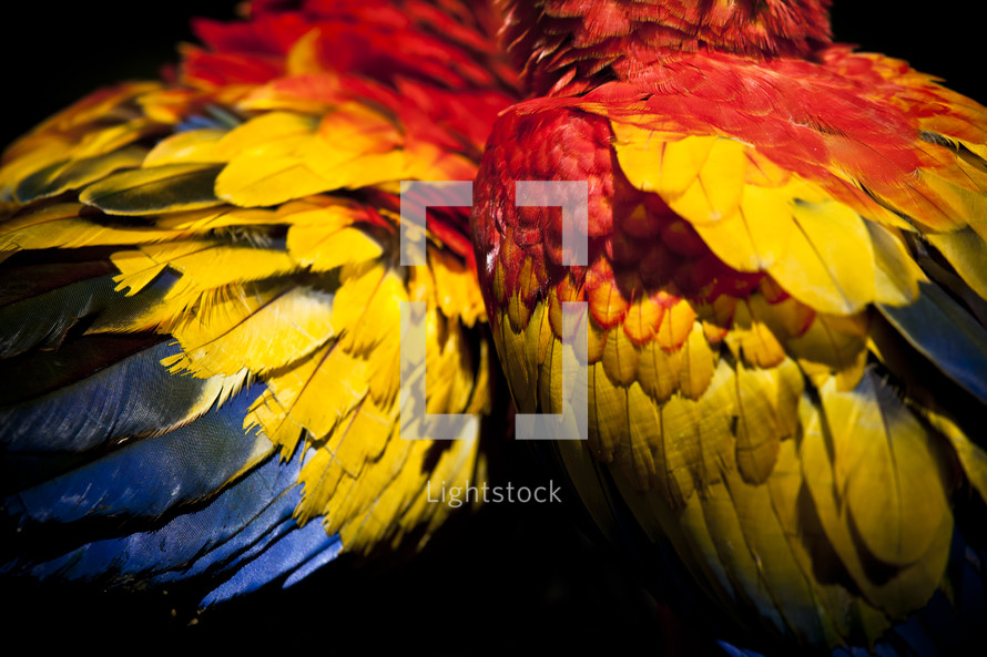 Scarlet Macaws feathers